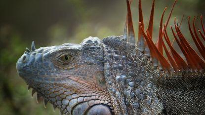 Florida gaat 'groene plaag' te lijf: Leguanenjagers slaan schedels in