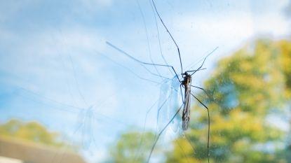 Waarom er plots duizenden langpootmuggen zijn verschenen