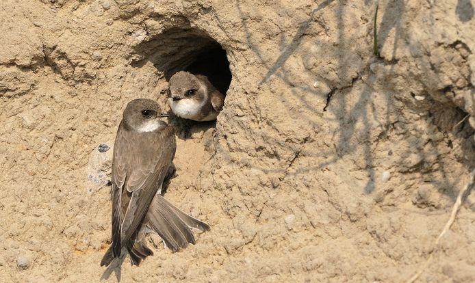 Zwaluwen bij een nestje.