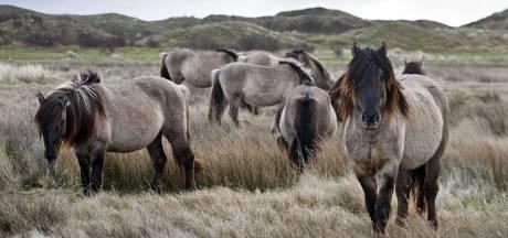 Bijna 200 konikpaarden uit Oostvaardersplassen naar de slacht
