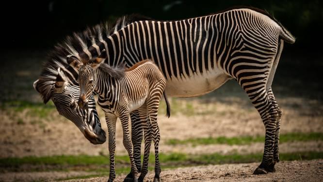 Zeldzame Grévyzebra geboren in Planckendael: iedereen mag naamsuggestie doen