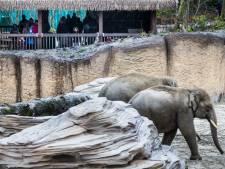 Olifantenjong op komst in Wildlands, vrouwtje Swe Zin is drachtig
