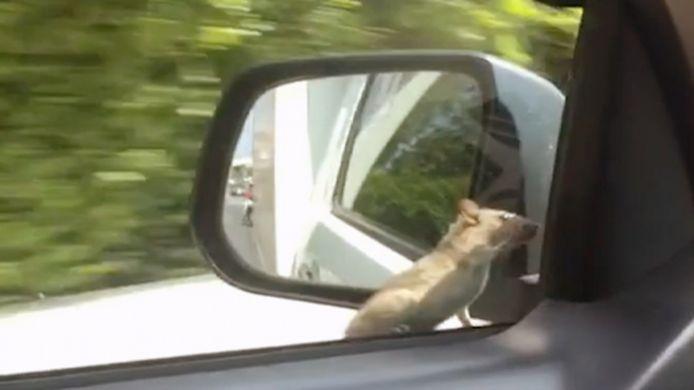 Carpoolende rat