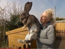 """Alerte: le """"plus grand lapin du monde"""" a été enlevé"""