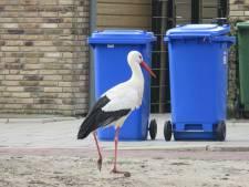 Bewoners vrezen dat Vestia ooievaars in Bomenwijk voorgoed verjaagt