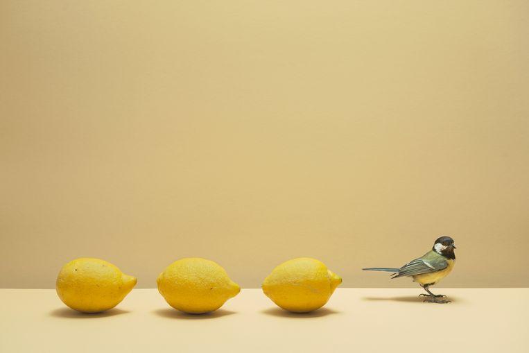'Drie citroenen met koolmees'   Beeld Hans van Asch