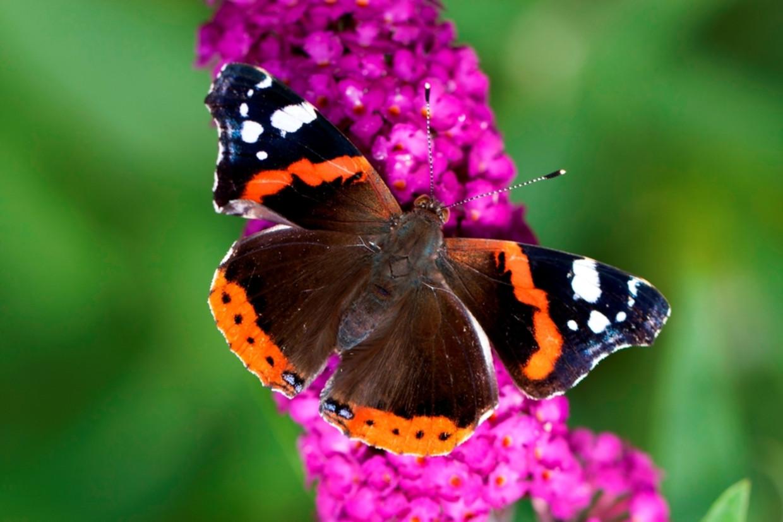 Een atalanta vlinder Beeld ANP