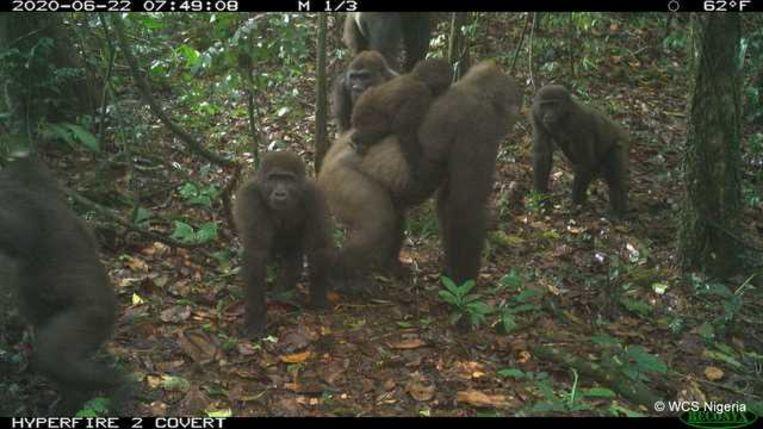 Cross River gorilla's in de Mbe Bergen bij dag. Beeld WCS Nigeria