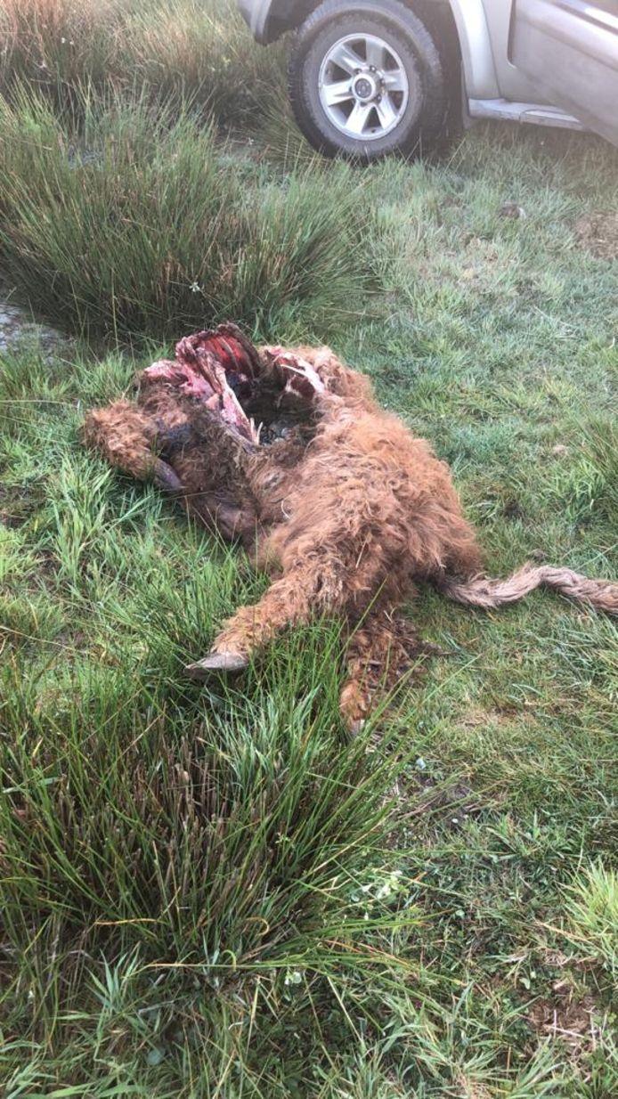 Een hooglander in Someren-Eind is doodgebeten.