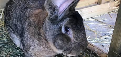Grootste konijn ter wereld gestolen, Britse eigenaar looft ruim 1000 euro uit