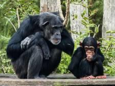Erg verdrietig nieuws safaripark Beekse Bergen: jonge chimpansee Gerrit overleden