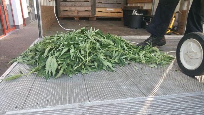 In het pand boven de winkel stonden zo'n 500 planten klaar om geoogst te worden.