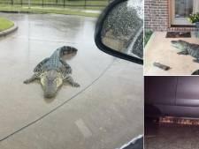 500.000 alligators hostiles, l'autre mauvaise surprise d'Harvey