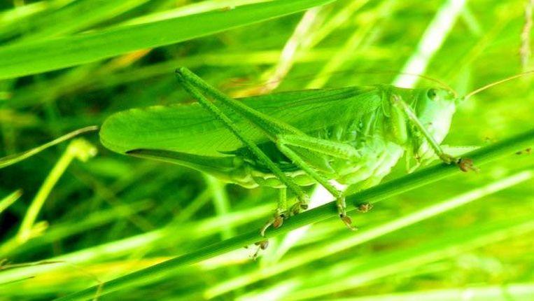 Het prototype sprinkhaan trouw grote groene sabelsprinkhaan foto koos dijksterhuis altavistaventures Image collections