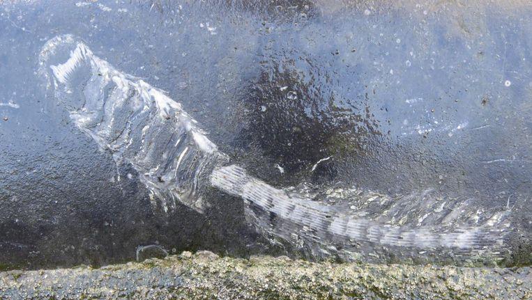 Solitair levend koraal in een stoeprand. Beeld Jelle Reumer