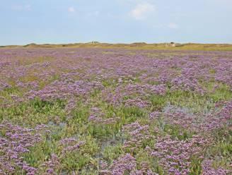 Lamsoor zorgt voor paars bloementapijt in het Zwin