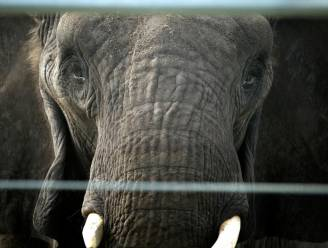 Olifant slaat verzorger dood met slurf in Spaanse dierentuin