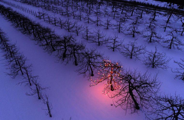 Waarom de fruitboer van de Amerikaanse Windy Hill Farm in Massachusetts juist deze appelboom heeft uitgekozen om de kerstverlichting in te hangen, is niet helemaal duidelijk. Er staan er immers honderden. Maar het is nu deze waarmee hij zegt: 'Happy Christmas'.   Beeld AP