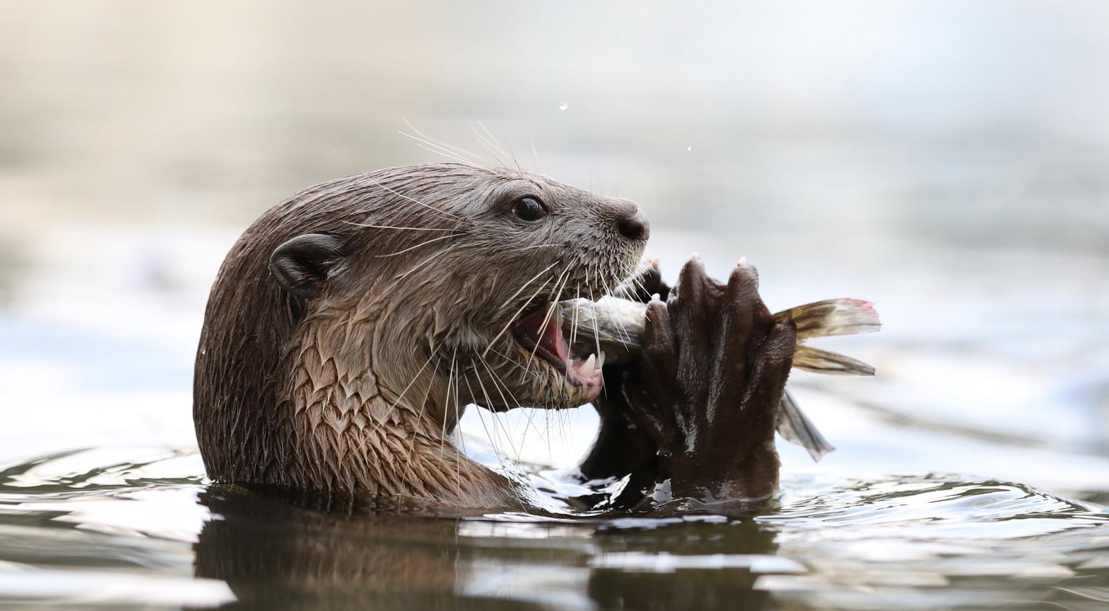 Een otter eet een visje. De verwachting is dat zich binnen een jaar de eerste otter in de Linge meldt.