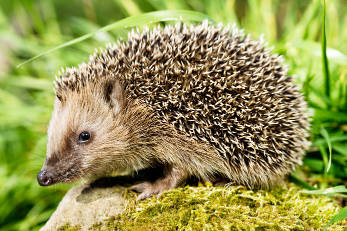 Hedgehog sitting on a stone and looking at the camera. XXXL (Canon Eos 1Ds Mark III)