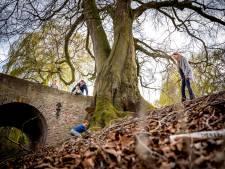 Tranen om val van historische 350 jaar oude beuk in Druten