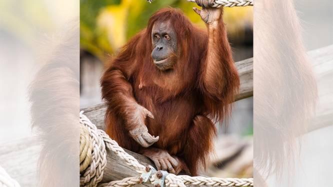 Babynieuws in Pairi Daiza: een van de orang-oetans is zwanger