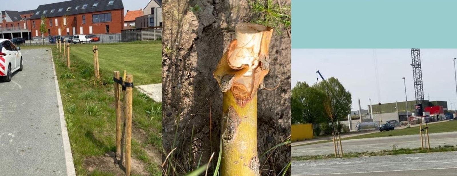 Een specialist in groenonderhoud gaf de bomen een mooie rechte zaagsnede in de hoop dat de bomen het alsnog zullen redden.