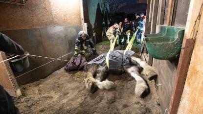 Brandweer breekt stal af om 900 kilogram zwaar paard te kunnen redden