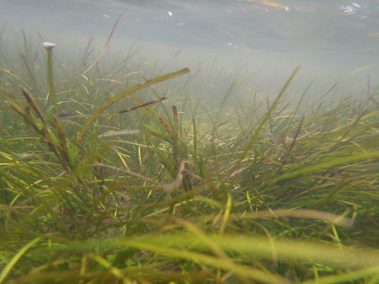 Zeegras is een goede schuilplek voor jonge vissen en kleine organismen. Beeld Waddenvereniging