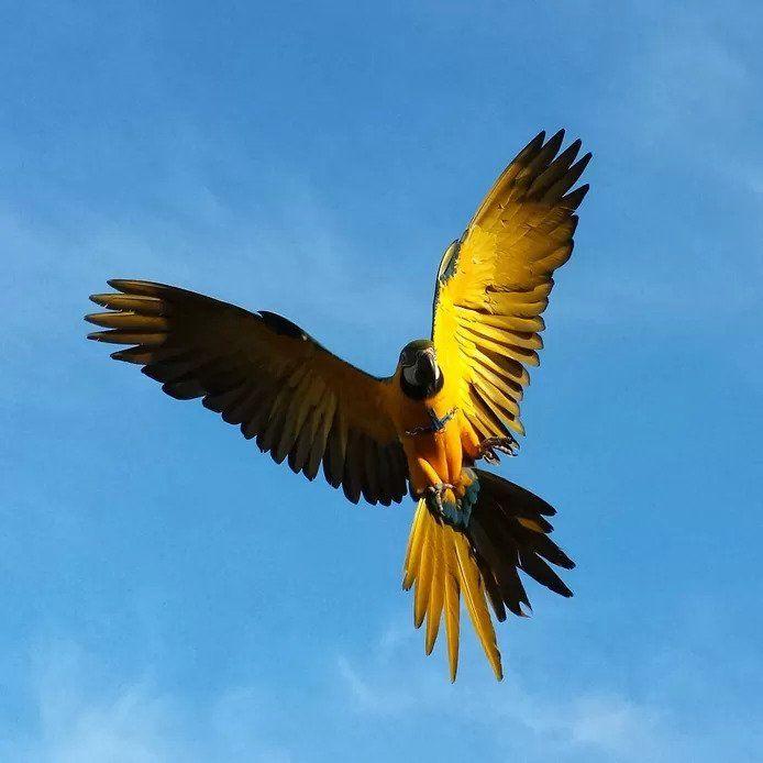 Le perroquet Rambo a été spécialement formé pour voler en toute liberté.