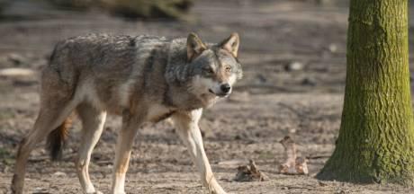 'Een levende wolf brengt meer op dan een dode'