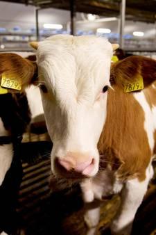 Nederland levert met poepbacterie besmet kalfsvlees aan VS