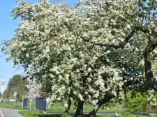 Het bomenplan van de Haarlemse Boerhaavewijk: dit gaat de komende maanden veranderen