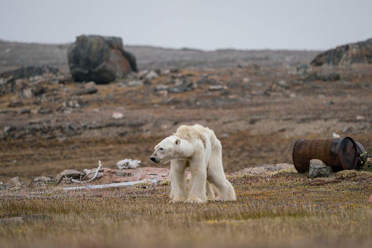 Een uitgehongerde ijsbeer in een verlaten jagerskamp, op de Canadese Noordpool. Beeld Justin Hofman