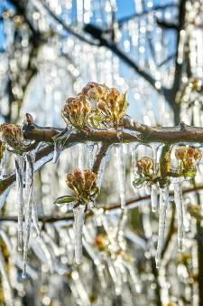 Bevroren appels en peren? Zeeuwse fruittelers hopen dat nachtvorst meevalt
