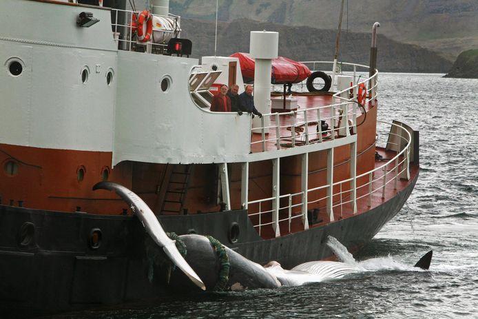 Greenpeace verspreidde vandaag deze foto van het IJslandse schip Hvalur 9 met een gevangen vinvis.