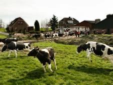 Eindelijk: koeien gaan dansend de wei in