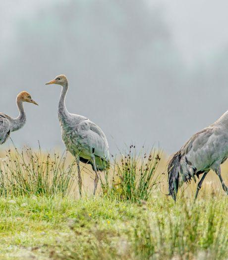 Tweede kraanvogelpaar zoekt naar geschikt broedplekje in het Wierdense Veld