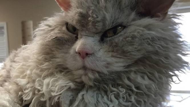 Hot op Instagram: Albert, de kat die kwaad kijkt én lijkt op een schaap