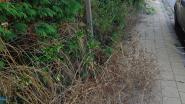 Gemeente drukt inwoners op hun plicht om hinderende beplanting te snoeien