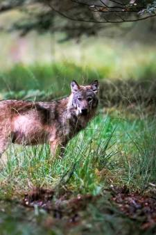 Lezers over doodschieten wolf: 'Walgelijk', maar ook 'opgeruimd staat netjes'