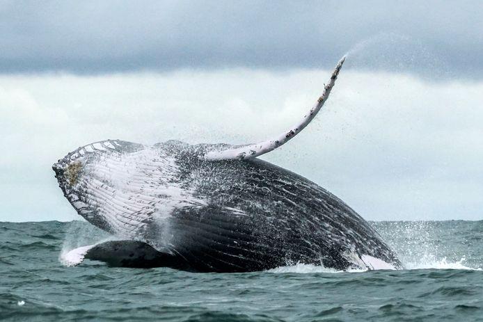 Een bultrug. De walvis is goed voor de visstanden, het ecotoerisme en de opslag van CO2.