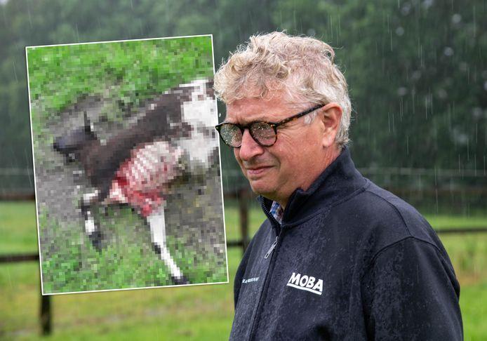 Een van de schapen van Gerrit van de Steeg werd aangevallen door een wild dier, uit onderzoek van Bij12 blijkt het om een vos te gaan.