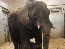 Olifantenbaby in Ouwehand dood na aanval door moeder