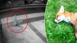 Dode vos in voortuin blijkt gegooid door man die afval komt dumpen