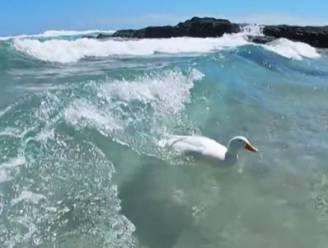 """Surfende eend steelt iedere dag de show (en alle harten) op strand: """"Hij maakt iedereen rondom hem blij"""""""