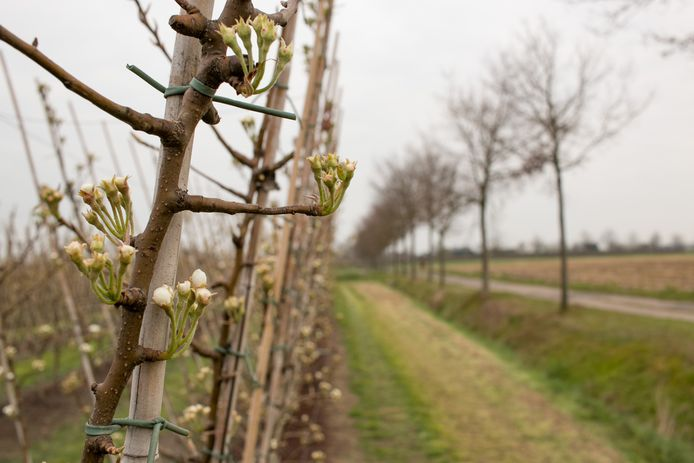 De fruittelers in Sint-Gillis-Waas maken zich nog geen zorgen