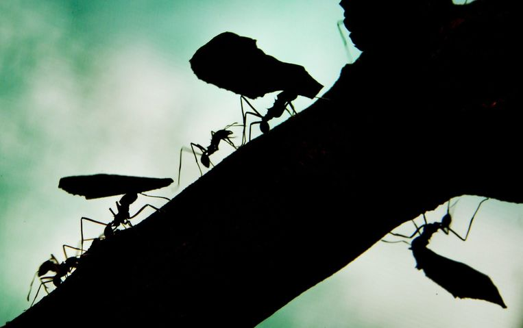 Mieren sjouwen met stukjes blad. Beeld EPA