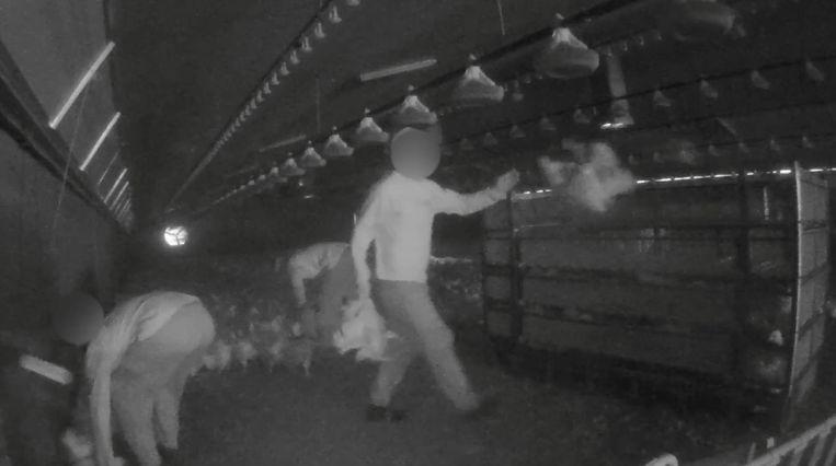 De kuikens komen onder containers terecht, worden geschopt, op een ruwe manier gevangen en dan hardhandig in containers gegooid. Beeld rv