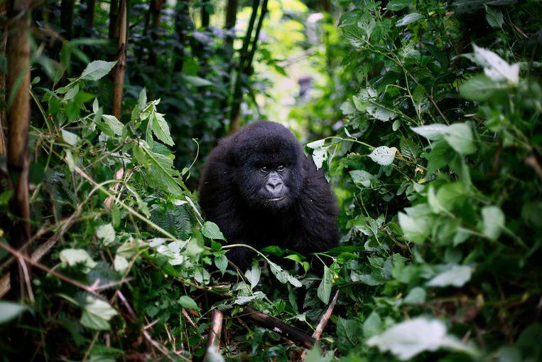 Het Virungapark is bekend van zijn berggorilla's.  Beeld AP